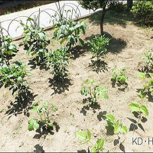 庭の家庭菜園が順調です