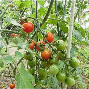 家庭菜園 今日の収穫