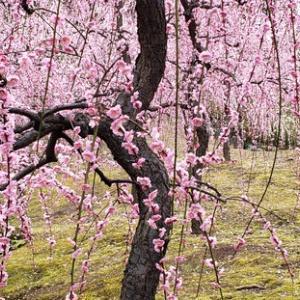 雅な枝垂れ梅