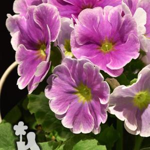 プリムラ・オブコニカ 春の花鉢