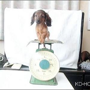 カニンヘンダックス動画 アコちゃん生後85日体重測定