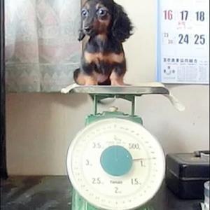 カニンヘンダックス動画 モアナの娘すずちゃん生後90日の体重測定
