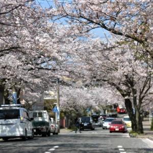 逗子ハイランドの桜並木