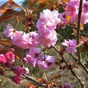 クーとトカゲと八重桜