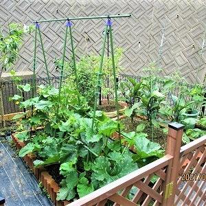 我が家の家庭菜園 ぼちぼち収穫が始まりましたぁ!