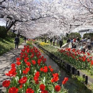 江川せせらぎ緑道の桜+淡雪と抹茶のパフェ