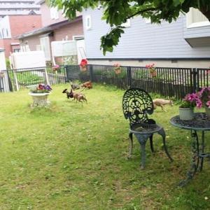 タンポポが異常に発生している、今年の庭。