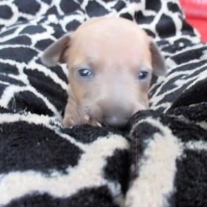 パピーちゃんの目が開いて~母犬の愛は強し!