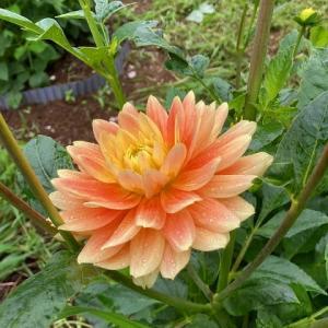 見事なダリアが咲きました、島大好きな方が訪問してくださいました♪2021.07.11