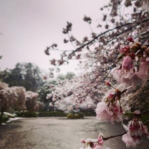 桜の花に雪が、なかなか見られない風景です