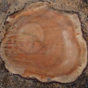 大きな木がまた一本