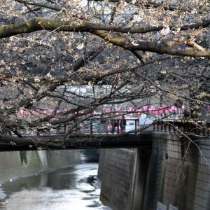 2019 目黒川の桜も開花しました
