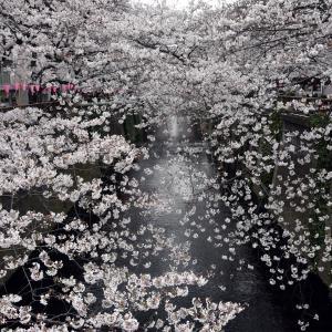 2019 目黒川の桜 満開です