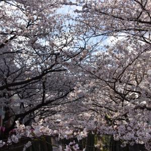 2019 目黒川の桜 お日様に照らされて