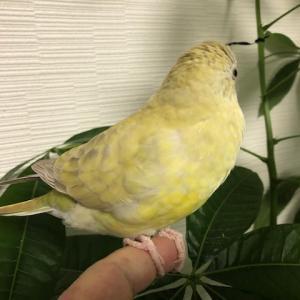 早起き鳥の美声インコ