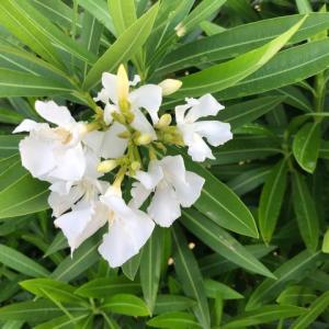 白く清いキョウチクトウの花