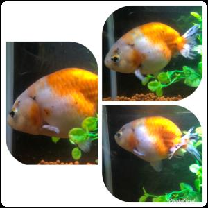 金魚のランチュウ・蘭ちゃん