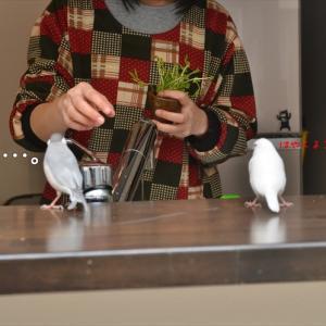 キッチン鳥
