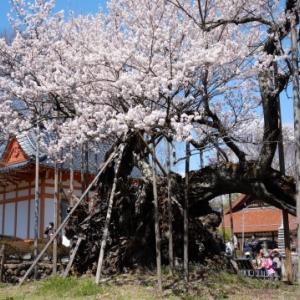 山梨神代桜を見に行きました(^^♪