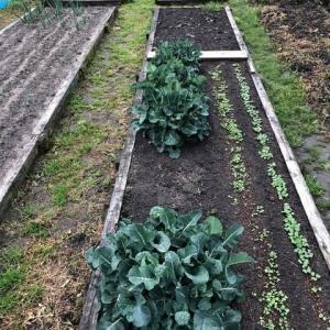 春野菜が発芽した