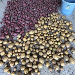 春ジャガの収穫