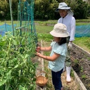 孫たちと野菜の収穫を