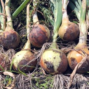 玉ねぎを収穫する