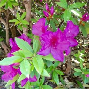 ヒラドツツジと花壇の花