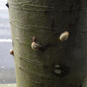 ケヤキの幹のカタツムリ