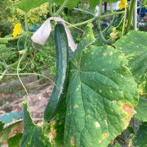 きゅうりの収穫(7月27日)