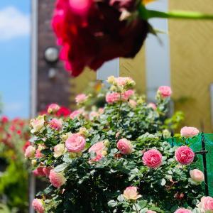 我が家の薔薇達