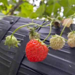 家庭菜園 苺 バジル 紫蘇