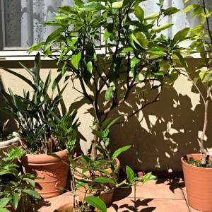 今年の柑橘苗はアゲハの被害無し?♪