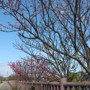 桜が 咲きました