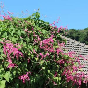 可愛いピンクのアサヒカズラ