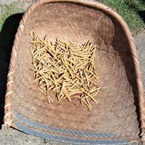小豆の収穫!