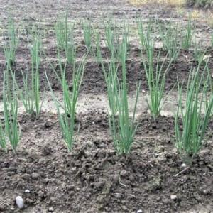 今日の畑(施肥、土寄せ、定植)!