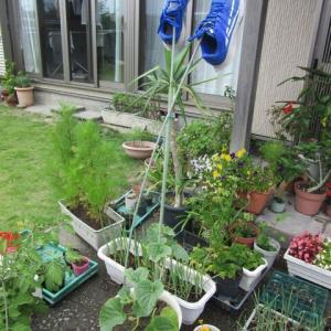 さつまいもの定植、トウモロコシの播種❕