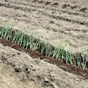今日の畑(根深太ネギの定植、落花生の追肥・土寄せ)❕