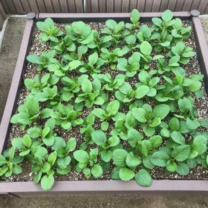 【家庭菜園2年目】野菜を育ててみた[こまつ菜もうすぐ収穫編]