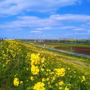 菜の花満開の江戸川