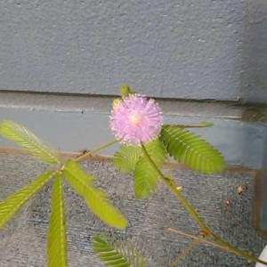 オジギソウの花