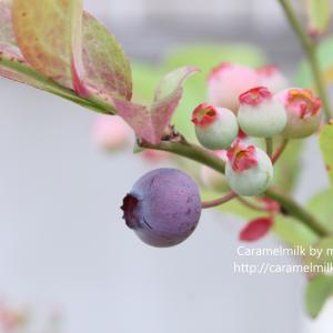 ブルーベリーの木とコンフィチュール