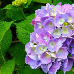 気がついたら紫陽花達が綺麗に咲いてる季節