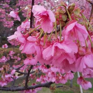 伊豆の土肥桜