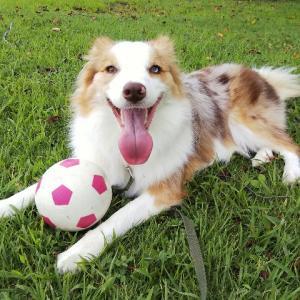 NEWサッカーボールはベルのお気に入り♡