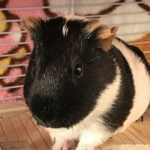 Guinea Pig Appreciation Day(モルモット感謝の日)