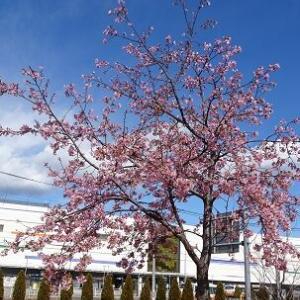 春の息吹 ~富士見市役所前の河津桜~