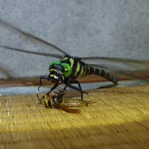 あなたの家にはスズメバチをバリバリ食べるオニヤンマいますか?
