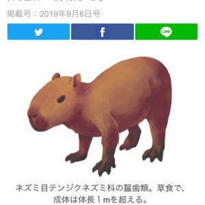 茅ヶ崎で迷子カピバラ!